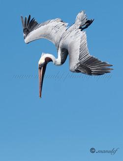 Pelican  053