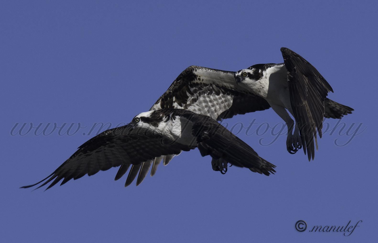 Osprey  085