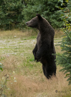 Brown Bear ( Grizzly )  024