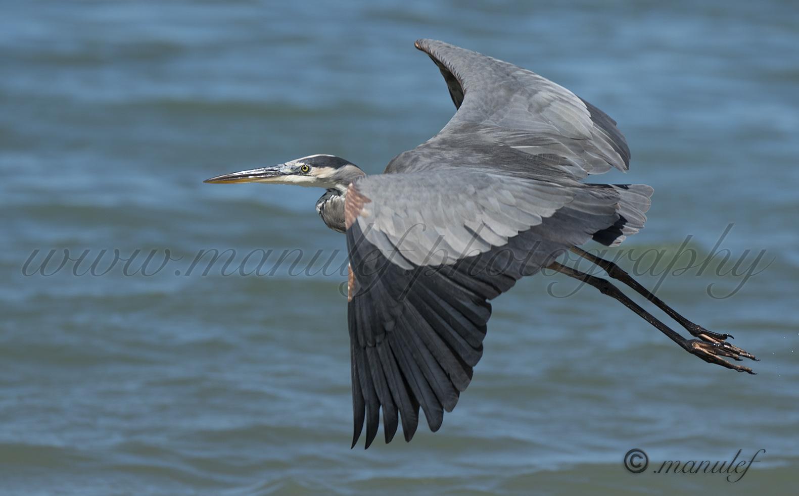 Great Heron  031