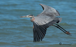 Great Heron  031