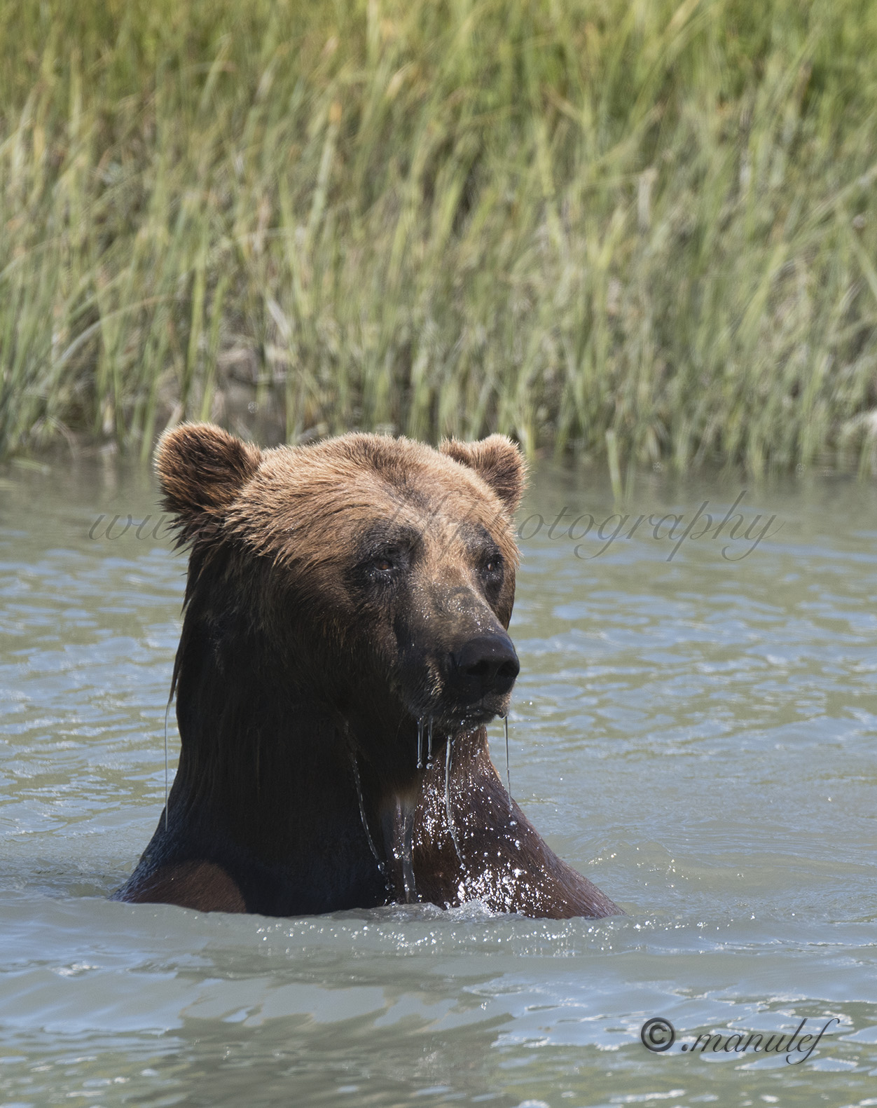 Brown Bear ( Grizzly )  017