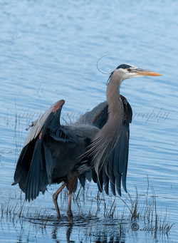 Great Heron  032