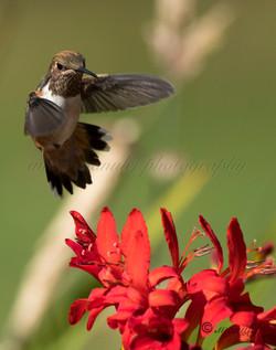 Allen's Hummingbird  002