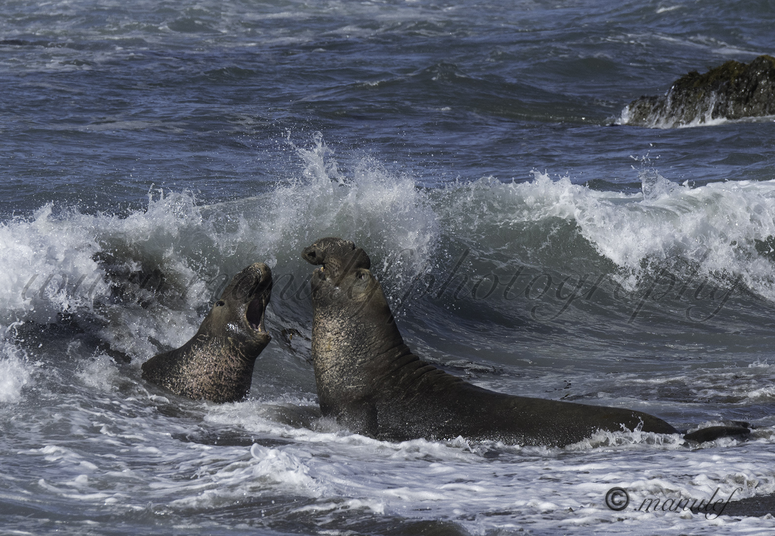 Elephant Seal  010