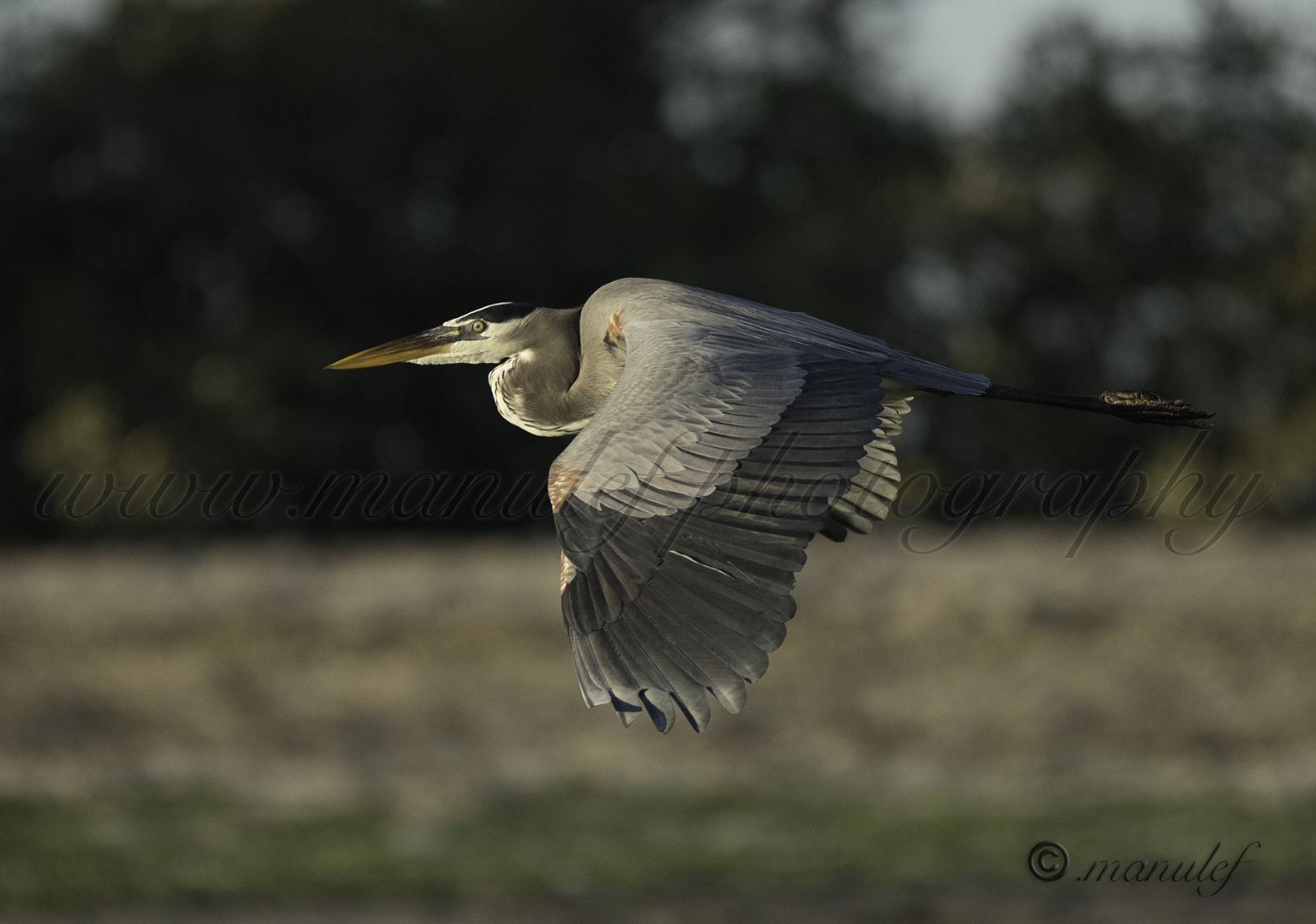 Great Heron  034