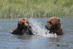 Brown Bear ( Grizzly )  015