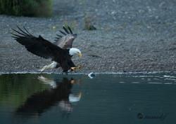 Bald Eagle  022