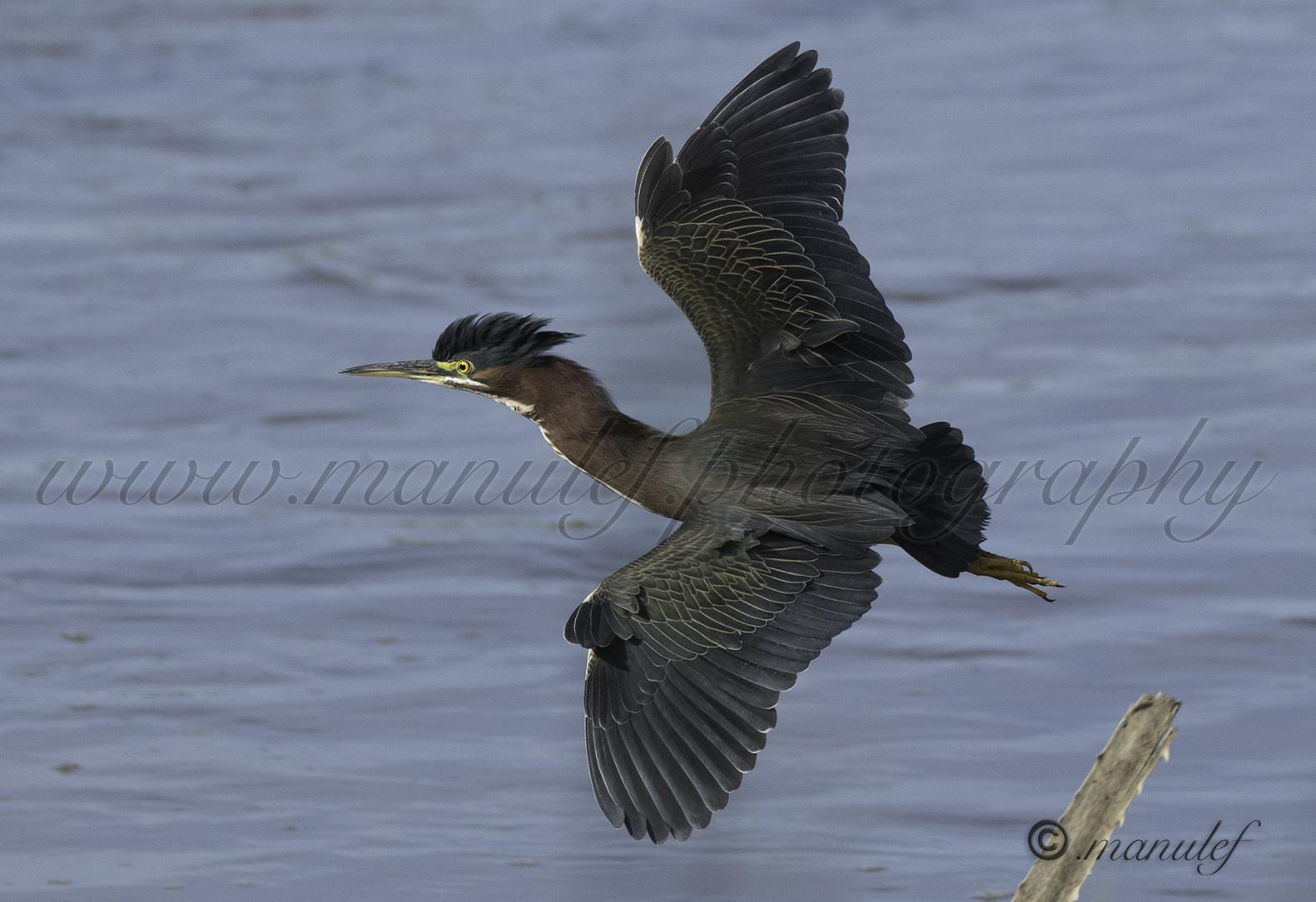 Green Heron  077