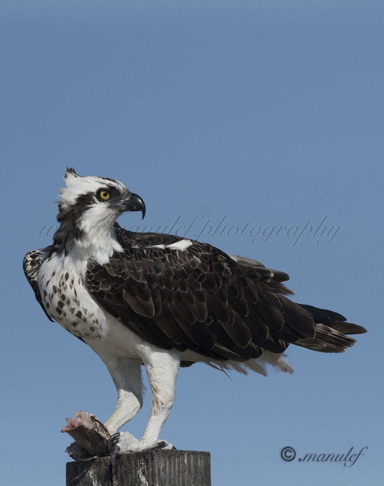 Osprey  043