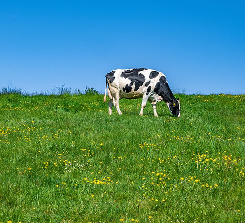 black-and-white-cow-grazing-on-the-pastu