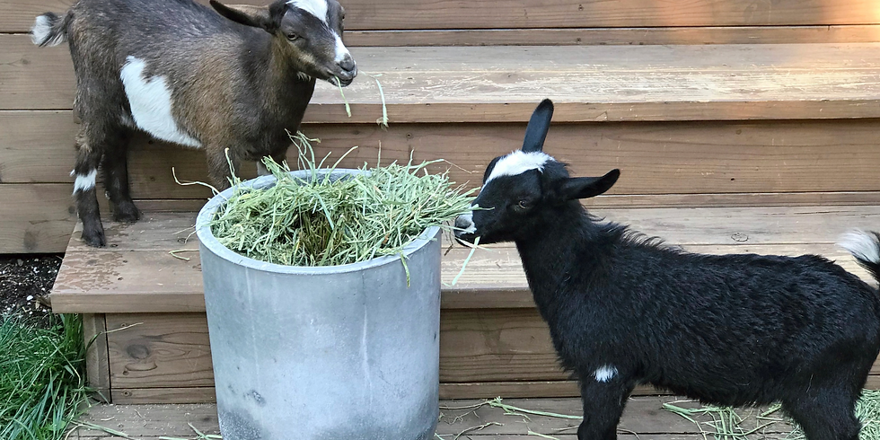 Baby Goat Yoga for a Cause!