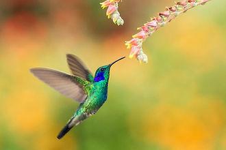 colibri fleur.jpg