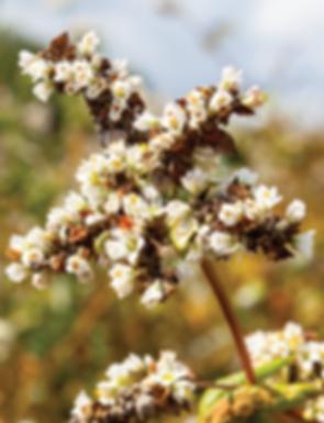 Buckwheat flower crepe bistro breton.png