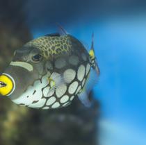 Clown Trigger Fish