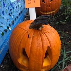 Pumpkin 37