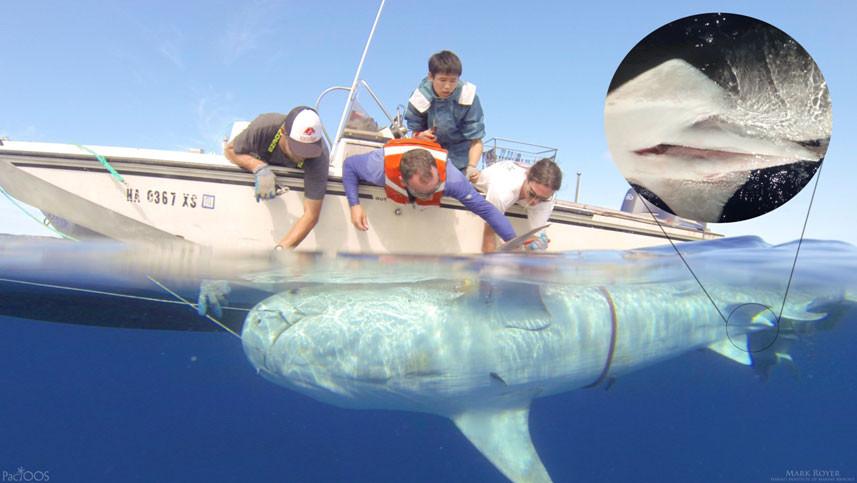 Tiger Shark Tracking Hawaii/Safe Snorkeling tips