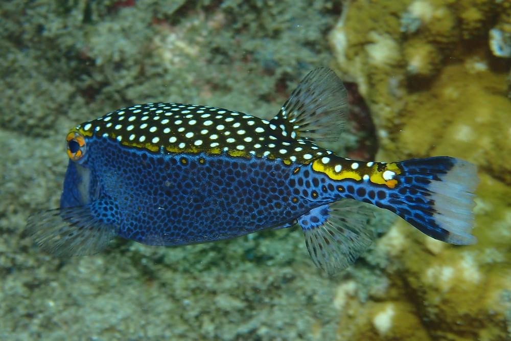 Moa Boxfish seen on shoreline snorkel tour