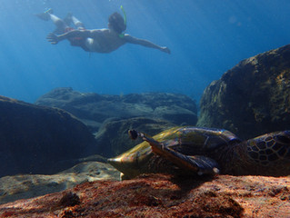 Snorkel with the turtles in Maui! Secret Turtle Spots!