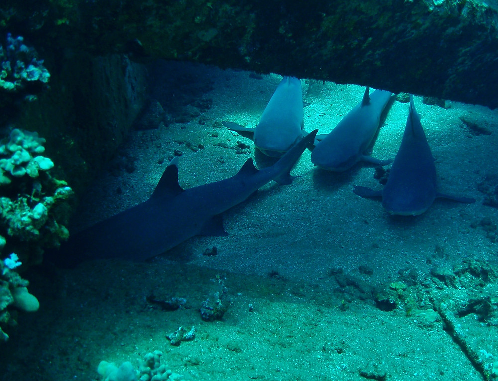 Mala Ramp Snorkeling With Sharks In Maui!