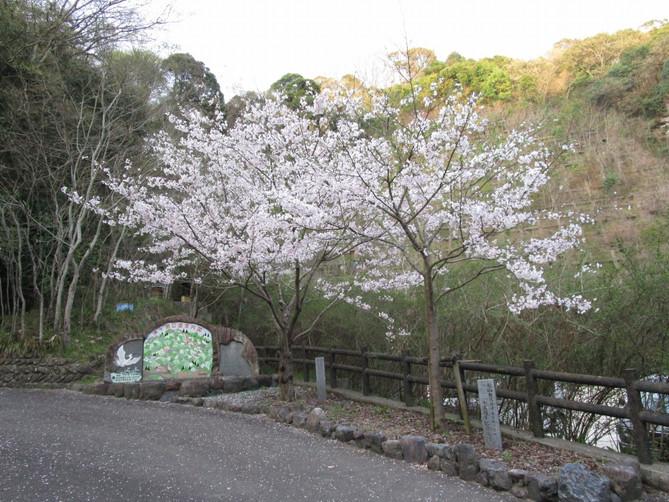 植樹した湧ヶ淵公園の桜が開花しました