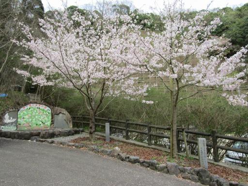湧ヶ淵公園へ植樹した桜が咲きました