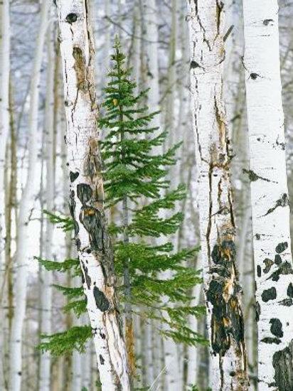 Birchwood Pine Soy Candle