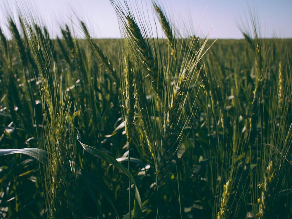 Wheat-191217-1024x768.jpg