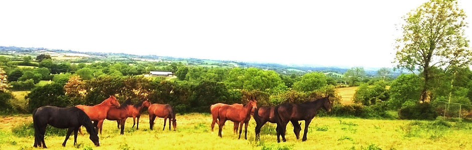 Young horses grazing. Premier Sports Horses