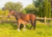 Cavalier KD (Sire Cavalier Royale) Premier Sports Horses
