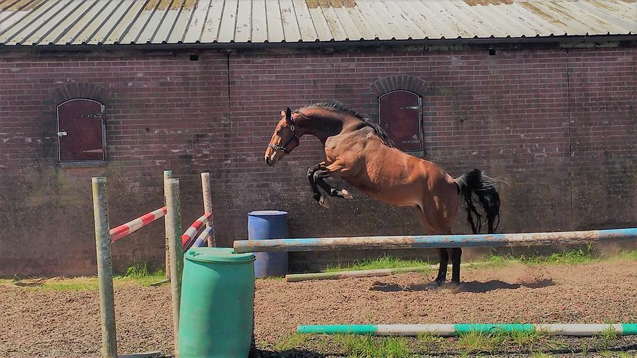Coolnorran Liloubet (sire Baloubet du Rouet) Premier Sports Horses