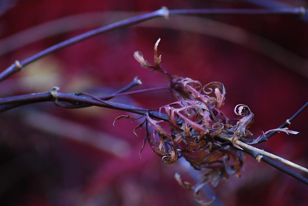 Purple Embers