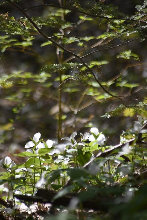 Forest Garden II