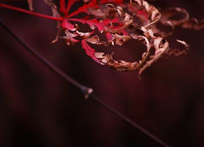 Crimson and Gold
