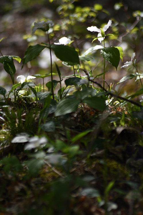 Forest Garden I