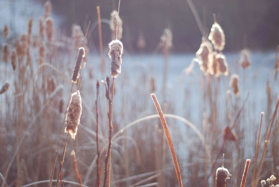 Sunny Cattails
