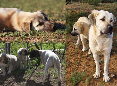Anatolian dogs protect cheetahs