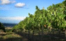 Vineyard, vines, grapes