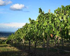 vigne du médoc