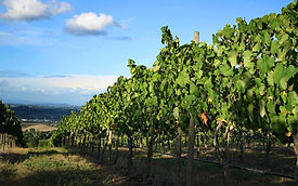 vineyard, wine grapes