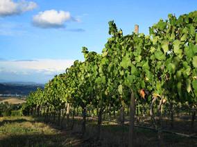 Did Burn Down affect the Vineyard?