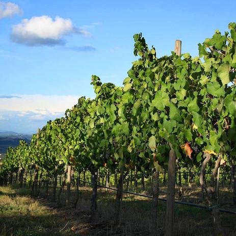 Cape May Vineyards