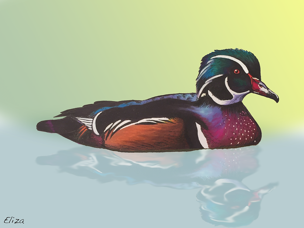 Illustration of a Wood Duck