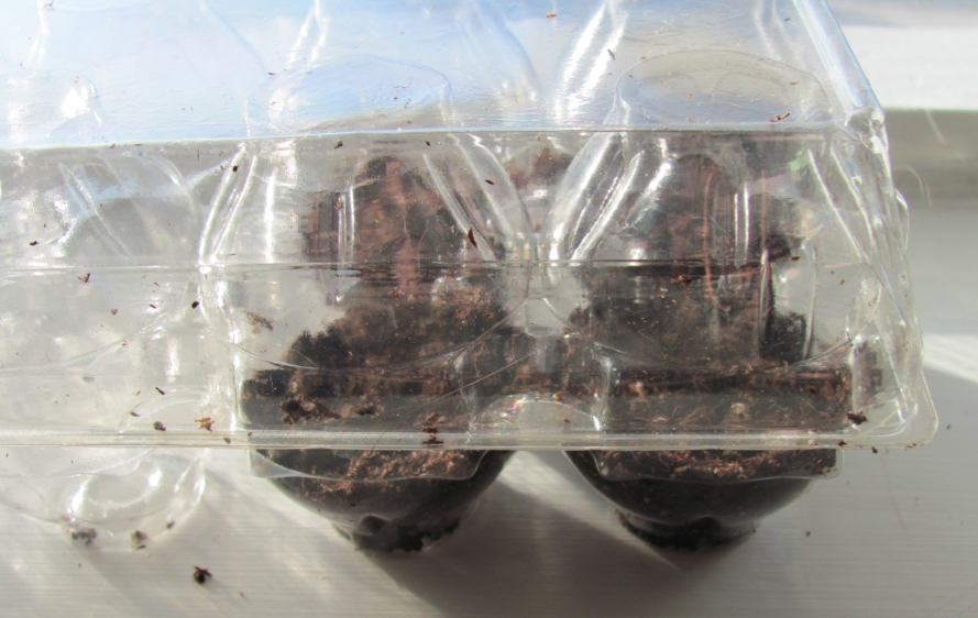 Egg carton mini-greenhouse with soil and seed in sunny window