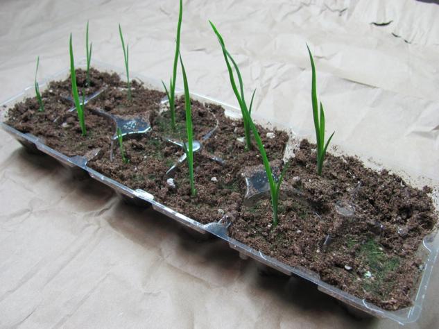Native Blue Flag Iris (Iris versicolor) sprouts in egg carton tray