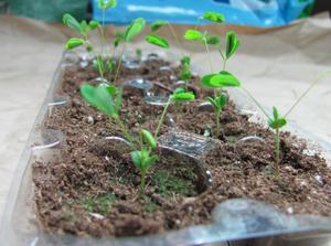 Sensitive Plant in DIY Egg Carton Planter