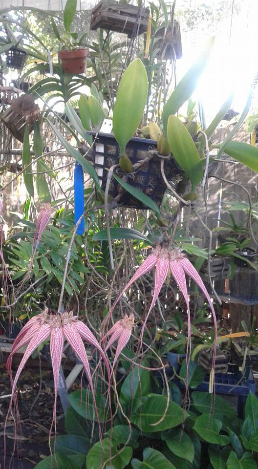 Now blooming at Accent Orchids  Bulb Elizabeth Ann Buckleberry