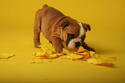 Cachorro La vid Bulldogs