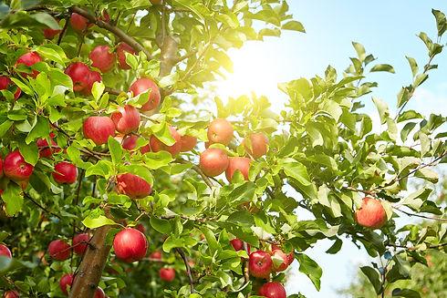 apple-tree-128640-36326.jpg