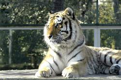 Tigre Zoo